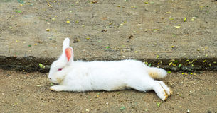 Easter Bunny (White Rabbit) Lay down on The Ground royalty free stock images