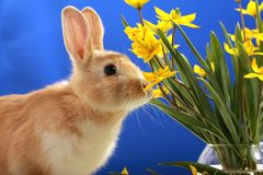 Easter bunny and yellow tulips Royalty Free Stock Image