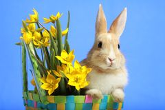 Easter bunny and yellow tulips Stock Photo