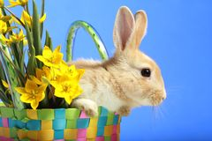 Easter bunny and yellow tulips Stock Image