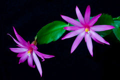 Easter cactus Royalty Free Stock Image