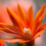 Easter Cactus. A close-up of an orange Easter cactus bloom royalty free stock photography