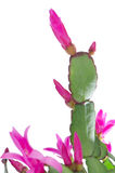 Easter Cactus (Rhipsalidopsis Stock Images