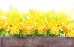 Easter card, daffodils, tulips Stock Images