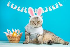 Easter cat with bunny ears with Easter eggs. Cute kitten royalty free stock photo