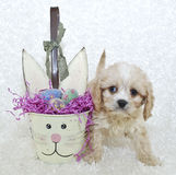 Easter Cavachon Puppy Stock Image