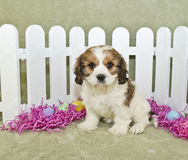 Free Easter Cavachon Puppy Royalty Free Stock Photo - 22985235
