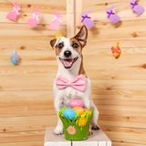 Dog with easter eggs Royalty Free Stock Images