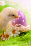 Easter Chick Stock Photos