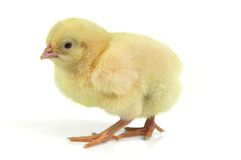 Easter chick Stock Photography