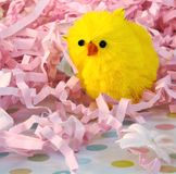 Easter Chick. Single yellow easter chick snuggle in pink easter grass stock photos