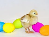 Easter Chick Stock Image