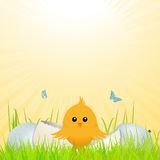 Easter chick with broken egg Stock Photo
