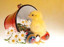 Easter chick and bucket. Red bucket with easter eggs, daisies and a newborn yellow chick Stock Photography