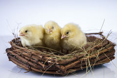 Easter, chick Stock Images