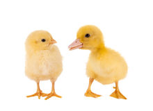 Easter chick and duckling. Funny newborn easter chick and duckling on a white background Stock Photography