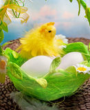 Easter chick and eggs in basket Stock Photo