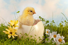 Easter chick in the garden. Little easter chick hatching from a big ostrich egg in the garden Royalty Free Stock Image