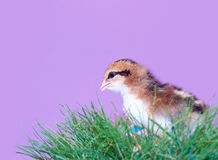 Easter chick in grass Stock Photo