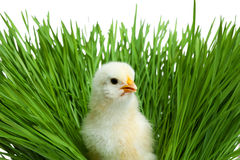 Easter chick in green grass Stock Photography
