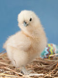 Easter chick in hay Stock Image