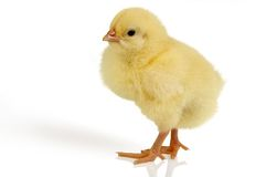 Easter chick isolated stock photos