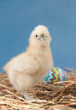 Easter chick looking at the viewer Royalty Free Stock Images