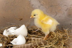 Easter chick on nest Stock Photo