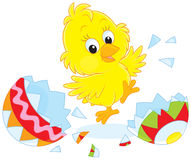 Easter Chick. Newly hatched little chicken dancing near shells of a painted Easter egg Royalty Free Stock Photos