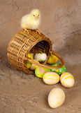 Easter chick on wicker basket. Little yellow chick sitting on an easter basket Royalty Free Stock Photography