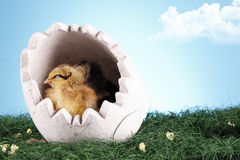 Easter chicken Stock Photography