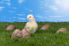 Easter chicken Royalty Free Stock Photography