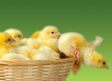 Easter chicken. Group of funny cute yellow chicken Stock Images