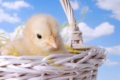 Easter Chicken In Basket Royalty Free Stock Image