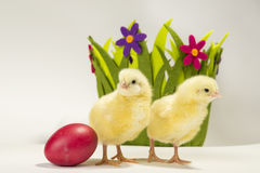 Easter chicken basket Royalty Free Stock Image