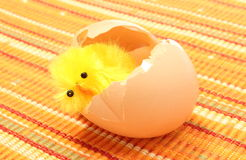 Easter chicken with broken eggshell, chicken or the egg Stock Photos