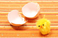 Easter chicken with broken eggshell Royalty Free Stock Photo