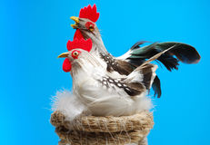 Easter chicken and royalty free stock photography