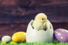Easter chicken in egg Stock Image