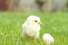 Easter chicken and egg grass Royalty Free Stock Images