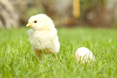 Easter chicken and egg grass Royalty Free Stock Image