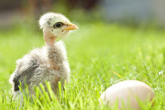 Easter chicken and egg grass Stock Images