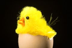 Easter chicken on egg shell Stock Images