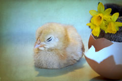 Easter chicken, egg shell and flowers Stock Photography