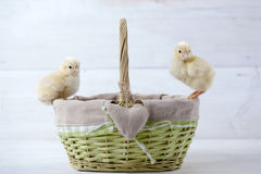 Easter chicken, eggs and decoration on white background Royalty Free Stock Image