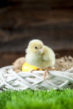 Easter chicken, eggs and decorations Stock Images