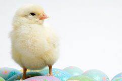Easter Chicken on Guard Royalty Free Stock Image