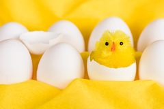 Easter chicken hatched out of white egg. A cute little yellow easter chicken hatched out of a white egg among other white eggs against a yellow background Stock Photo
