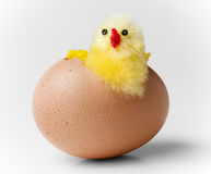 Easter chicken hatching out of egg. Cute easter chicken hatching out of brown egg Stock Photography