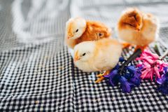 Easter chicken. Little black chick walking among flowers and Easter eggs royalty free stock photos